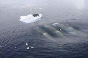 Clip: Màn săn hải cẩu 'tuyệt đỉnh' của bầy cá voi sát thủ