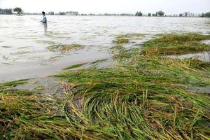 Hơn 2.000 ha lúa ở Đồng bằng sông Cửu Long bị ngập lũ