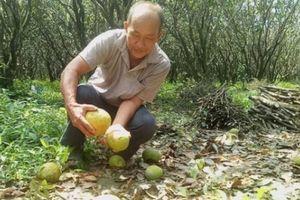 Vĩnh Long: Nông dân thiệt hại nặng do bưởi rụng hàng loạt