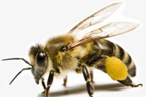 Ong rừng tấn công làm 11 người thương vong
