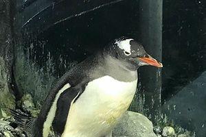 Kỳ thú chim cánh cụt đực ấp nở thành công chim con