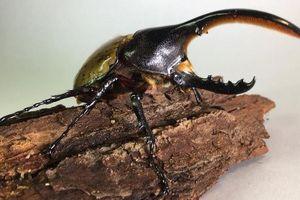 Điều kỳ thú về loài bọ mang tên lực sĩ, dài nhất thế giới