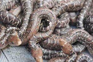 Nhiều thú vị về loài rắn Cuba săn mồi theo bầy