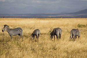 Tanzania nỗ lực tái gây dựng quần thể ngựa vằn hoang dã