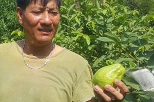 Làm giàu ở nông thôn: Trồng giống ổi to, ngọt, giòn, bán như tôm tươi