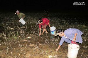 Người dân Nghệ An rọi đèn săn cua đồng trong đêm
