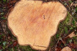 Điều tra vụ cưa trộm cây bạch tùng cổ thụ trong rừng