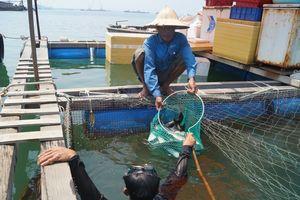 Vụ cá bớp nuôi lồng bị chết hàng loạt: Đề nghị hỗ trợ trên 9,2 tỷ đồng chuyển đổi nghề