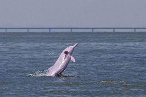 Cầu vượt biển dài nhất thế giới đe dọa loài cá heo hiếm của TQ
