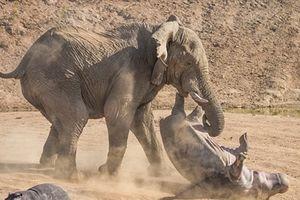 Hà mã mẹ liều mạng đánh voi để con chạy trốn