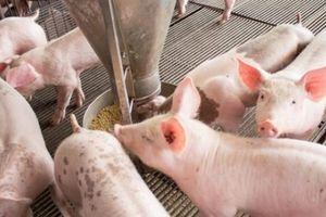 Giá heo hơi hôm nay 28/10: Trại lớn 'khát' con giống, giá lợn hơi có làm người nuôi thót tim?
