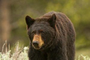 Gấu đen đột nhập nhà, bị bắn vẫn vùng dậy đuổi theo người