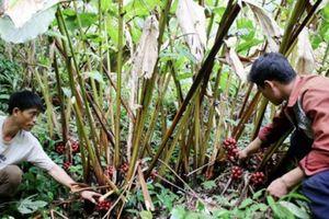 Tin NN Tây Bắc: Thảo quả được mùa, người trồng lo mất giá