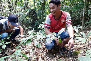 Quảng Nam: Cần vườn ươm giống cây sâm 7 lá một hoa