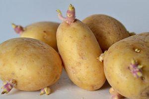 Bộ Y tế khuyến cáo không ăn khoai tây mọc mầm