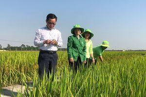 Nâng cao chất lượng sản xuất lúa giống (Kỳ 1)