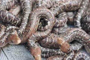 Điều chưa biết về loài rắn Cuba săn mồi theo bầy