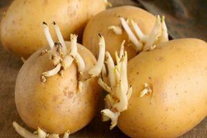 Ăn khoai tây mọc mầm có thể gây ngộ độc