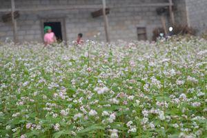 Hà Giang: Sắp tổ chức Lễ hội hoa tam giác mạch với chủ đề 'cao nguyên đá rạng rỡ những mùa hoa'