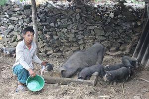 Mô hình chăn nuôi lợn nái sinh sản quay vòng giúp đồng bào nghèo vươn lên