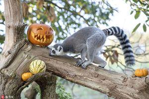Vượn cáo hào hứng 'vờn' bí ngô, đón Halloween