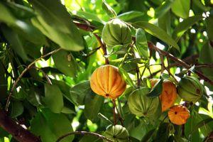 Điều thú vị về quả tai chua, mọc nhiều ở Việt Nam