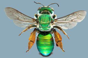Cận cảnh những chú ong đẹp ấn tượng và kỳ thú của Australia