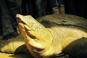 Nhiều phen thoát chết của rùa Hoàn Kiếm ở hồ Đồng Mô