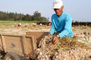 Quảng Ngãi: Người dân khóc ròng tỏi Lý Sơn rớt giá