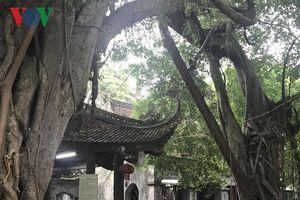 Cây đại thụ trên 700 năm tuổi giữa lòng thành phố Hưng Yên