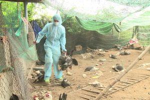 Phú Yên xuất hiện cúm gia cầm H5N6, khả năng lây sang người