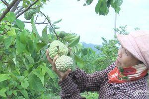 Nông dân Nghệ An 'ép' na ra quả trái vụ, cho thu nhập cao