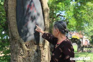 Ba cây sưa trăm tuổi trị giá hàng chục tỷ đồng, dân thay nhau trông giữ ngày đêm ở Hà Nội