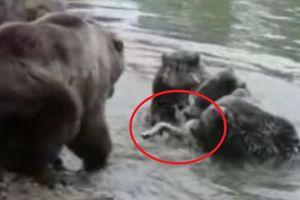 Clip: Sói bất lực nhìn đồng loại bị bầy gấu xé xác