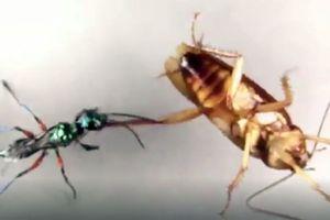 Ấn tượng cảnh gián tung cước đá bay ong bắp cày