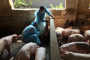 Phòng chống dịch tả lợn châu Phi: Không chủ quan, lơ là