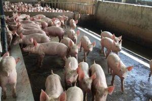 Giá heo hơi hôm nay 2/11: Thương lái 'chạy làng', sợ giá lợn hơi giảm từng ngày