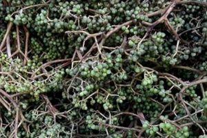 Hái mạc khén đầu mùa, nông dân vùng cao xứ Nghệ thu về tiền triệu