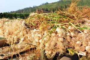 Lý Sơn yêu cầu đính chính về sản phẩm tỏi trong chương trình 'Thương vụ bạc tỷ'