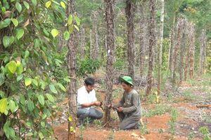 Toàn tỉnh Đắk Nông có hơn 2.000ha hồ tiêu bị nhiễm bệnh