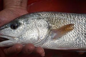 Ngư dân Đà Nẵng bắt được con cá nghi cá sủ vàng quý hiếm