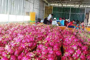 Xử lý nghiêm người nước ngoài 'núp bóng' kinh doanh thanh long trái phép ở Bình Thuận