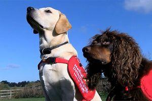 Chó có thể ngửi được mùi bệnh sốt rét