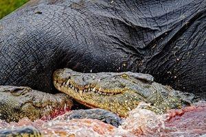 Cá sấu, sư tử ngấu nghiến ăn thịt voi trưởng thành