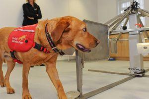 Chó cũng biết phát hiện người mang ký sinh trùng sốt rét