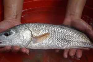 Ngư dân Đà Nẵng bắt được cá nghi sủ vàng quý hiếm