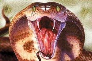 Cận cảnh nọc độc rắn hổ mang chúa tấn công, tàn phá cơ thể người