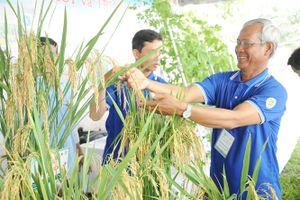 Lúa giống chất lượng cao hút hàng