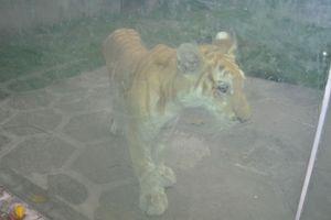Xung quanh vụ thú hoang nuôi tại vườn thú Công viên nước Củ Chi (TP.HCM): Có hay không chuyện ngược đãi, bỏ đói?
