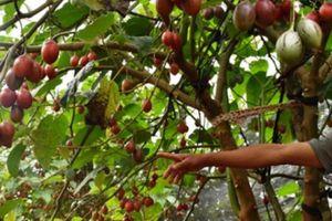 Lâm Đồng: Cà chua tên lạ, 1 cây thu 30kg trái, bán 150 ngàn/kg